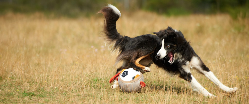 Boarder Collie in Aktion